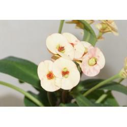 Euphorbia milii Salmon - Молочай Миля