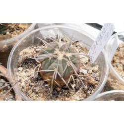 Gymnocalycium spegazzinii 5 см