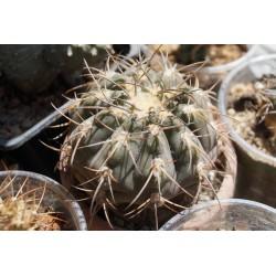 Gymnocalycium spegazzinii 8 см