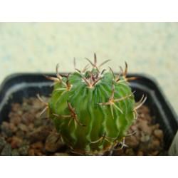 Echinofossulocactus pentacanthus