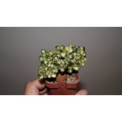 Aichryson mini variegata