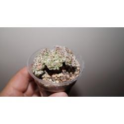 Aeonium decorum mini cristata variagata