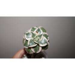 Aeonium decorum variegata