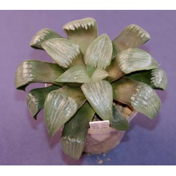 Haworthia springbokvlakensis x comptoniana