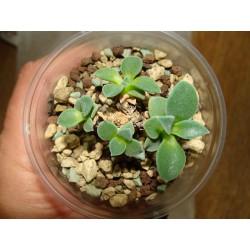 Delosperma deilanthoides
