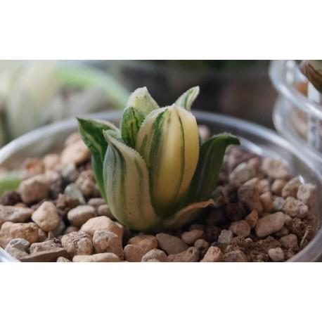Haworthia pygmaea variegata