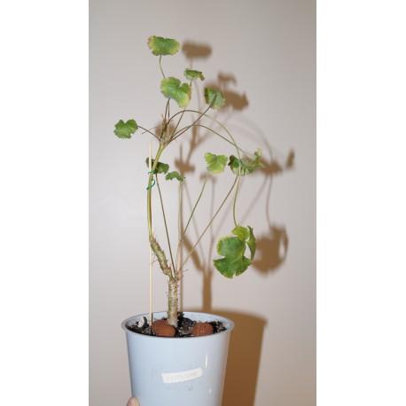 Pelargonium cortusina