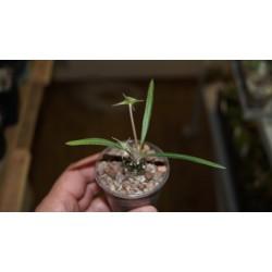 Дорстения Dorstenia lancifolia