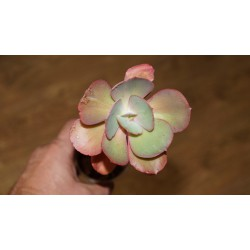 Echeveria Suyon 12 см