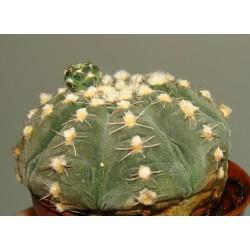 Gymnocalycium ragonesii