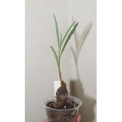 Monadenium fanshawei / Галерея