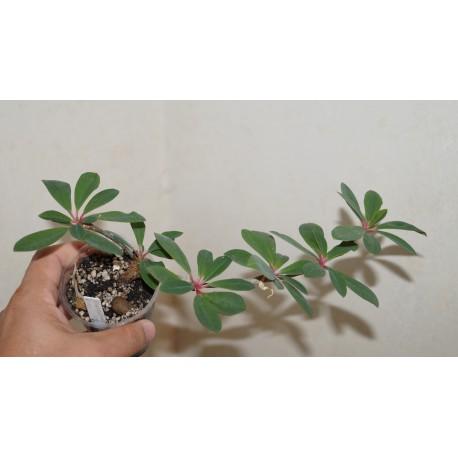 Euphorbia bongolavensis