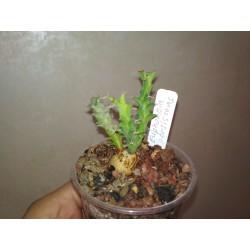 Euphorbia persistens