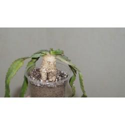 Euphorbia stellata 1