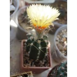 Astrophytum гибридный