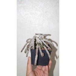 Euphorbia decaryi decaryi