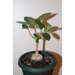 Фикус Ficus glumosa - small