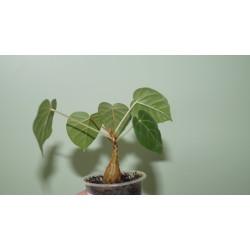 Фикус Ficus petiolaris