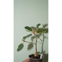 Фикус Ficus glumosa