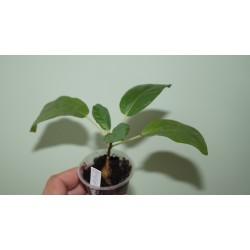 Фикус Ficus stuhlmannii