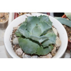 Agave potatorum compacta 719