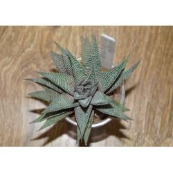 Haworthia limifolia striata Silver