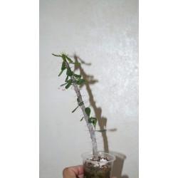 Euphorbia delphinensis