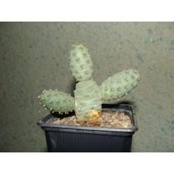 Tephrocactus strobiliformis 18-2
