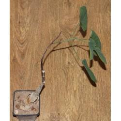Adenia ecirrosa