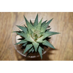 Haworthia limifolia striata гибрид