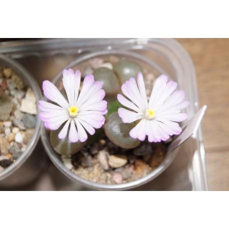 Ophthalmophyllum praesectum - 3 головы