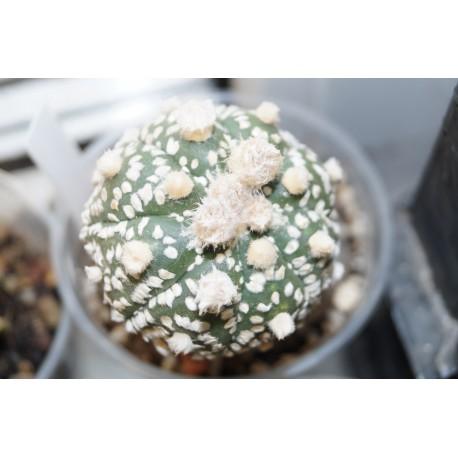 Astrophytum Hanazono