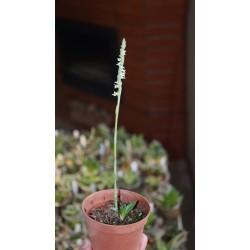 Орхидея спирантес спиральный Spiranthes spiralis