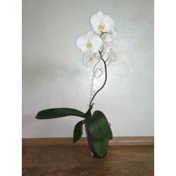 Фаленопсис белый