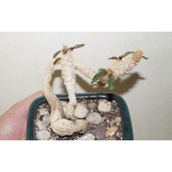 Euphorbia francoisii crassicaulis бонсай