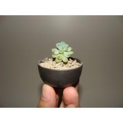 Pachyphytum compactum бонсай мини