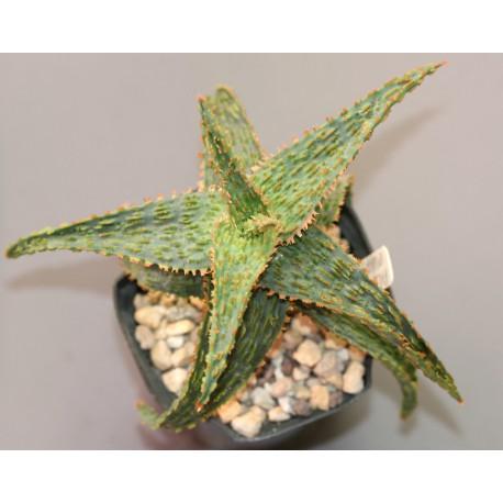 Aloe Marmalade