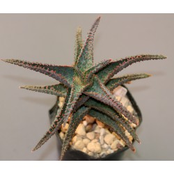 Aloe сортовое Lavender Star AR919