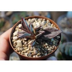 Lenophyllum variegata