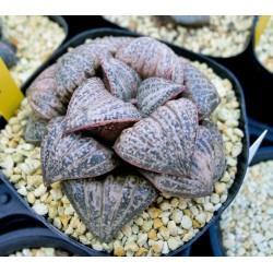 Haworthia Suzuki splendens