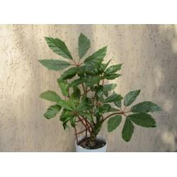 Бегония Begonia carolineifolia