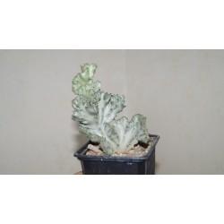 Euphorbia lactea variegata cristata