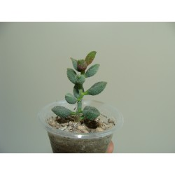 Adromischus marianae herrei Coffee Bean small