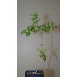 Commiphora gileadensis I419
