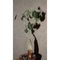 Cissus rosanthus
