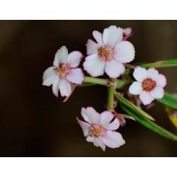 Euphorbia gymnoclada