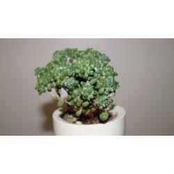 Pachyphytum compactum cristata бонсай