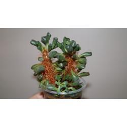 Adromischus cristatus schoenlandii