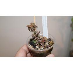 Lenopetallum Chocolate variegata