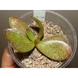 Adromischus trigynus 'Klaarwater'